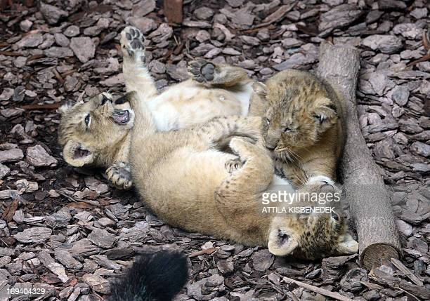 Three more than one month young baby Indian lions play at the Indian House of the Zoo and Botanic Garden in Budapest on May 24 2013 The animals were...