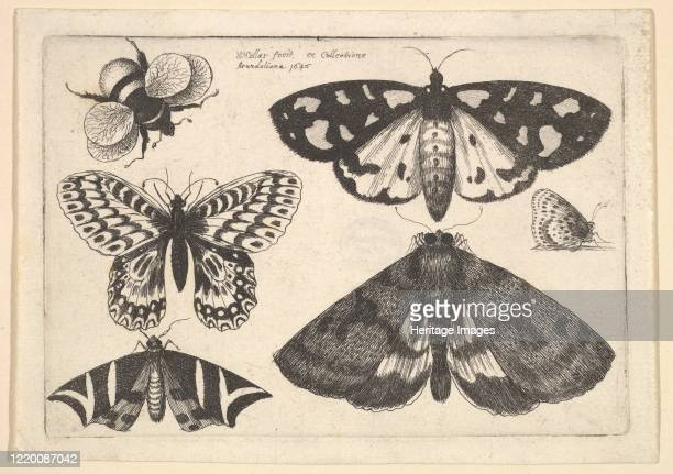Three moths two butterflies and a bumble bee 1646 Artist Wenceslaus Hollar