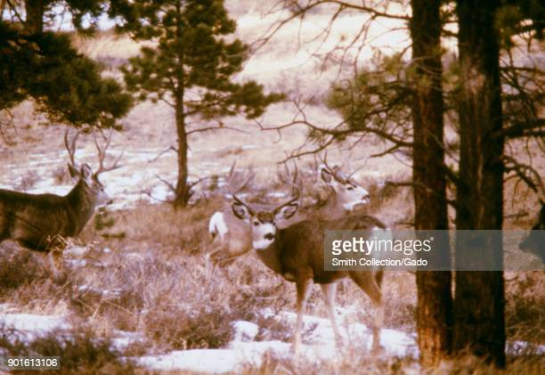 Three mule deer in a pine forest plague and tick fever study Estes Park Colorado 1975 Image courtesy Centers for Disease Control