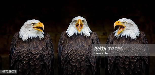 three musketeers - bald eagle stock photos and pictures