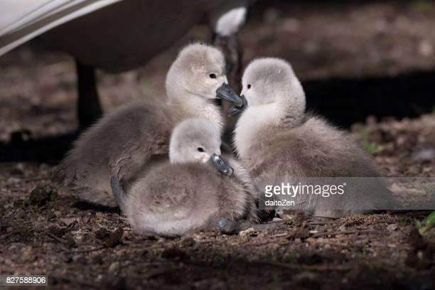 Three Mute swan (Cygnus olor) cygnets at edge of lake, Munich, Germany