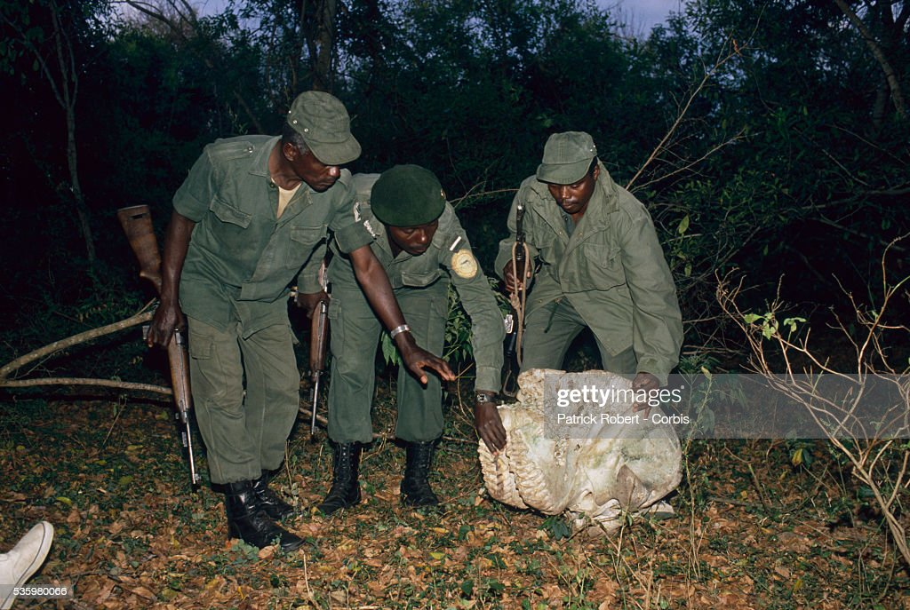 Three National Parks Guards examine the abandoned skull of an elephant in Zaire. The national parks continue to struggle against the poaching of elephants and the traffic of ivory in Zaire (now the Democratic Republic of Congo).