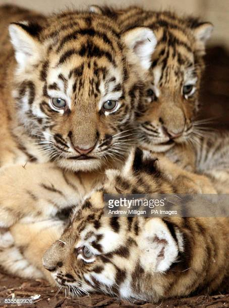 Three new Amur tiger cubs as yet unnamed after they were born on May 11 at Highland Wildlife Park in Kingussie near Aviemore
