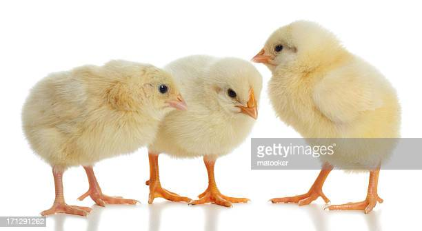 Three new born baby chicks standing close