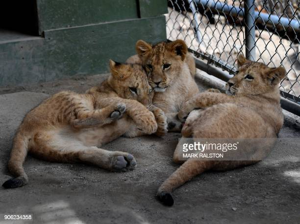 Three new lion cubs play in their enclosure following their return home to the Wildlife Waystation animal sanctuary after they were evacuated during...