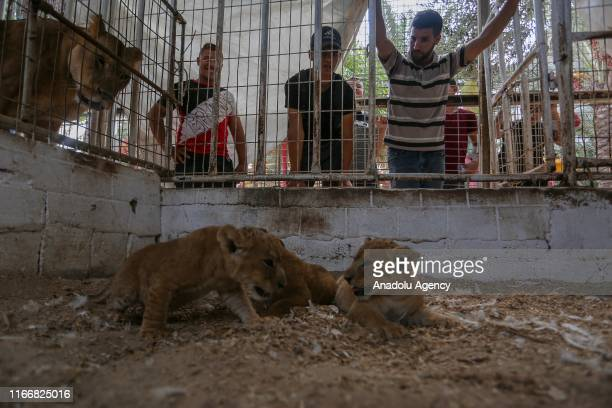 Three newborn cubs are seen in their cage at a zoo in Rafah Gaza on September 08 2019 A mother lion at a zoo in Gaza Strip gave birth to three...
