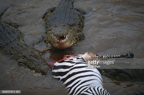 Three Nile crocodiles (Crocodylus niloticus) eating it's prey, Masai Mara N.R, Kenya