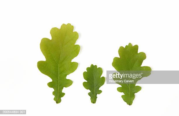 three oak leaves, against white background, close-up - oak leaf stock pictures, royalty-free photos & images