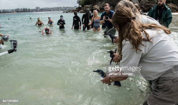Three of five Little Penguins as they are released back into the water at Shelly Beach on April 17 2018 in Sydney Australia The five Little Penguins...