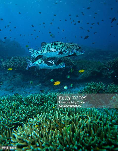 Three of sweetlip fish swimming near stag horn coral reef.