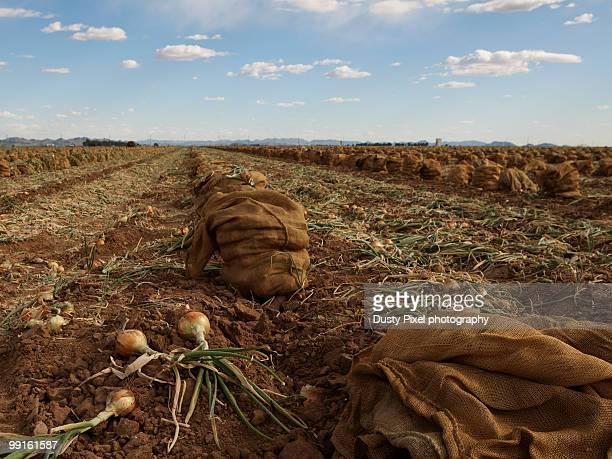 Three Onions to Bag