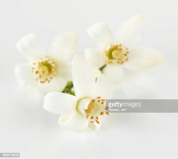three orange flowers - orange blossom stock photos and pictures