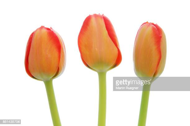 Three orange tulip (Tulipa sp.) against white background, close up.