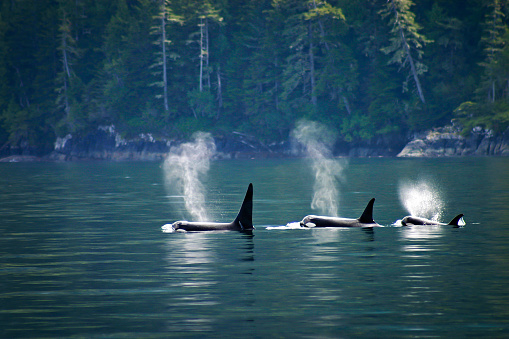 Three orcas or killer whales in a row 1136890610