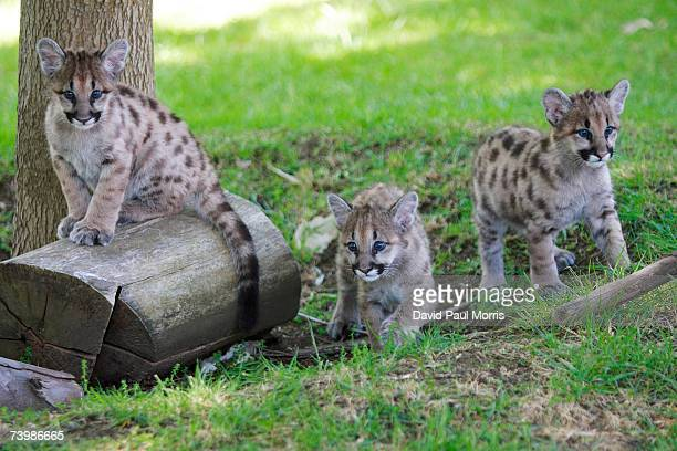 Three orphaned 11 month old cougar cubs play at Six Flags Discovery Kingdom on April 26 2007 in Vallejo California The cougar cubs were given to the...