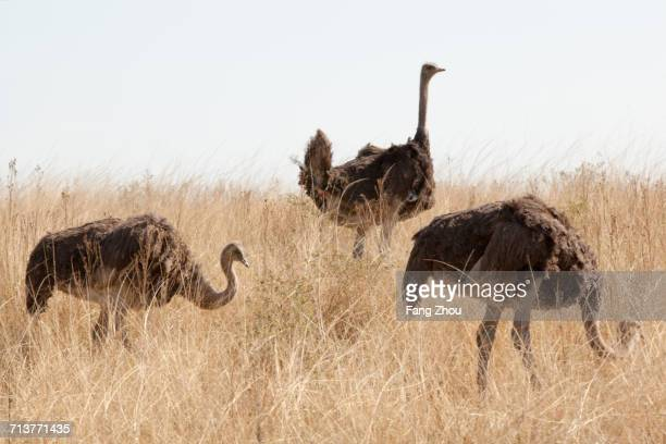 Three ostriches on grass field, South Africa