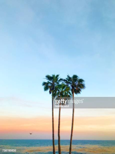 Three palm trees in the shape of a heart, Laguna Beach, Orange County, California, America, USA