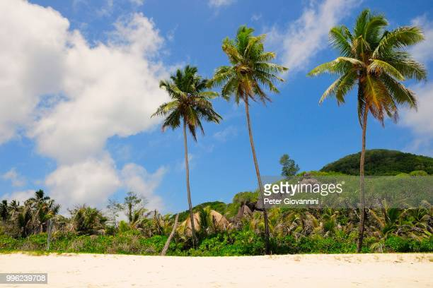 Three palm trees on Grand'Anse beach, La Digue Island, La Digue and Inner Islands, Seychelles