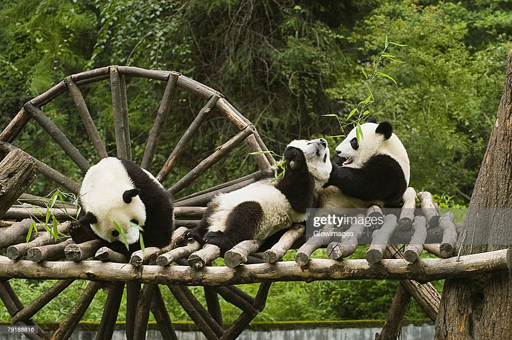 Three pandas (Alluropoda melanoleuca) sitting on a wooden platform : Foto de stock