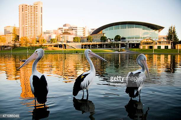 three pelicans torrens river adelaide south australia - adelaide stock pictures, royalty-free photos & images