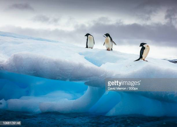 three penguins standing on iceberg - atlantic islands stock pictures, royalty-free photos & images