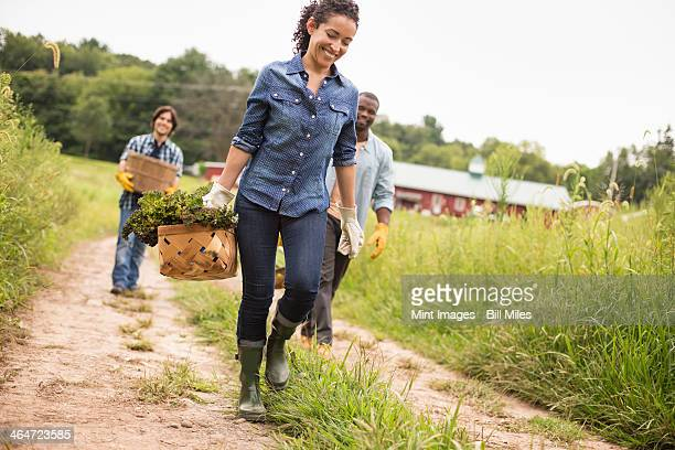 Three people working on an organic farm. Walking along a path carrying baskets full of vegetables.