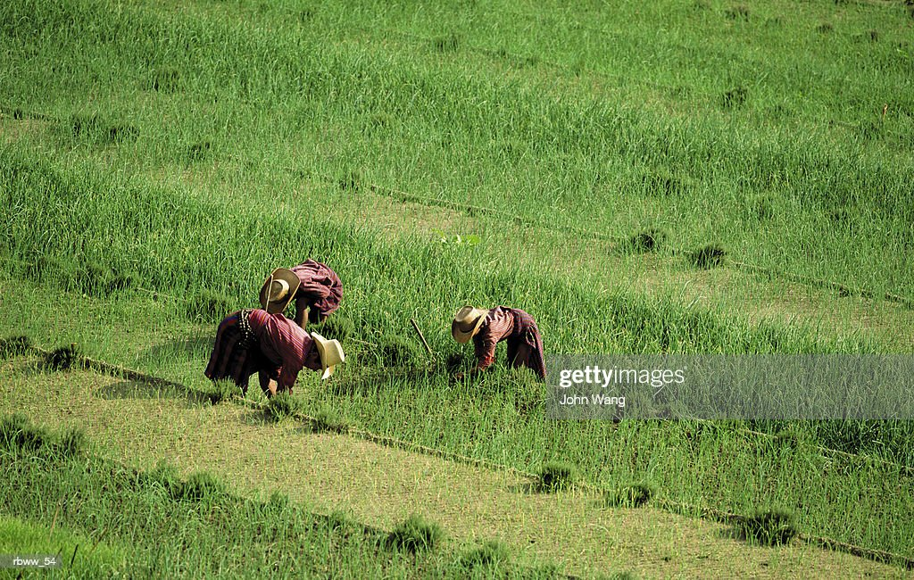 three phillipinos work in a vast green field : Foto de stock