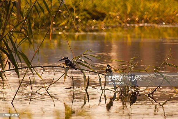 three pied kingfishers, ceryle rudis, perching on a branch by the nile. - alex saberi imagens e fotografias de stock