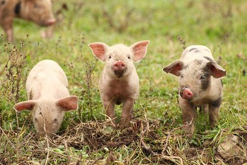 Three piglets 481340466