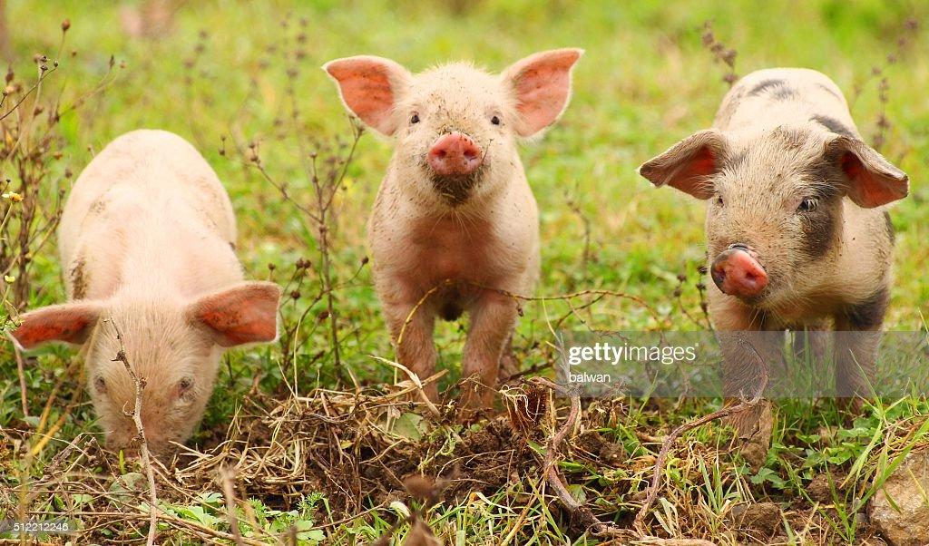 Three piglets : Stock Photo
