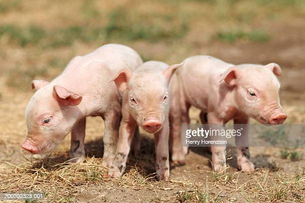 Three piglets standing outdoors