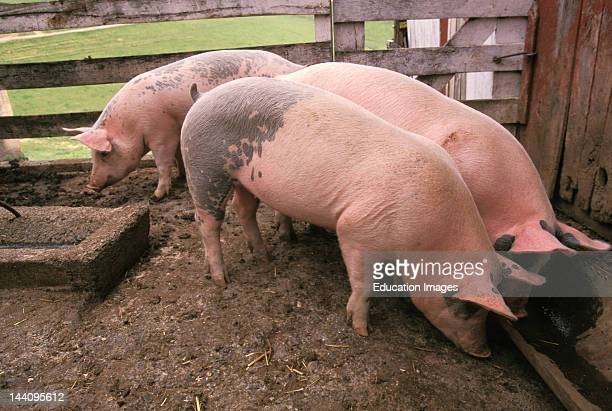 Three Pigs At The Trough.