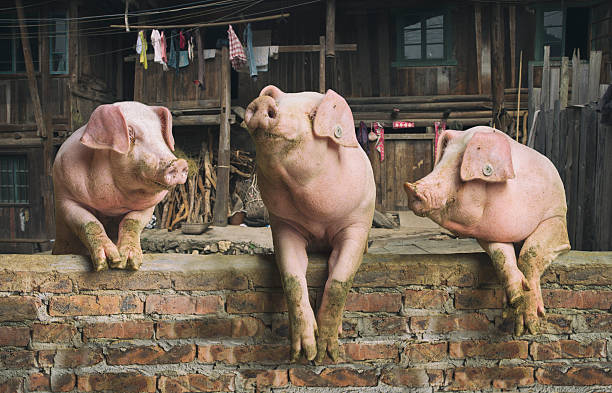 Three Pigs Having A Chat In A Remote Chinese Village Wall Art