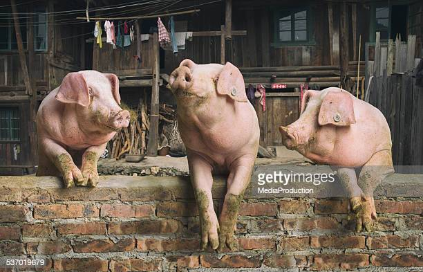 three pigs having a chat in a remote chinese village - pig stock pictures, royalty-free photos & images