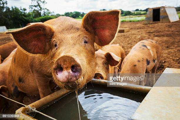 three pigs in a field, one drinking from a trough. - pigs trough stock pictures, royalty-free photos & images