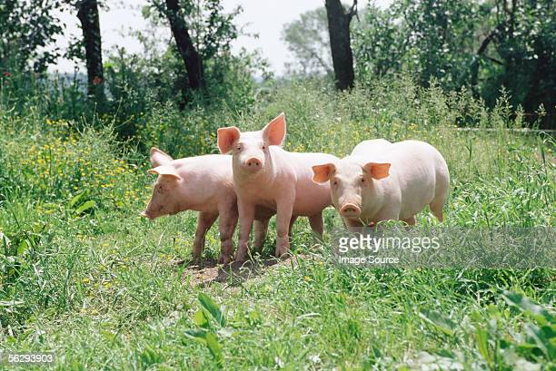 three pigs in a meadow - pig stock pictures, royalty-free photos & images