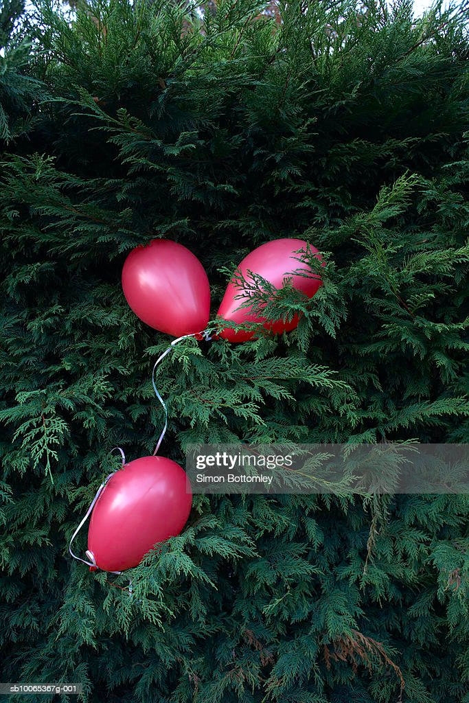 Three pink balloons in tree : Foto stock