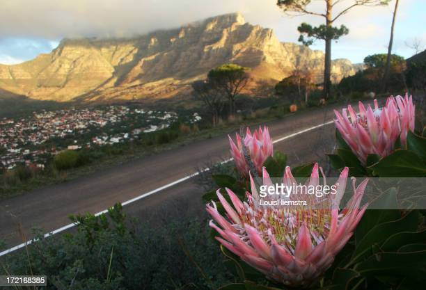 Three pink protea flowers by a roadside