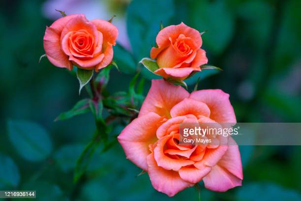 three pink red roses close up garden - red roses garden stock pictures, royalty-free photos & images