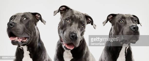 Drei Pitbull-Hunde