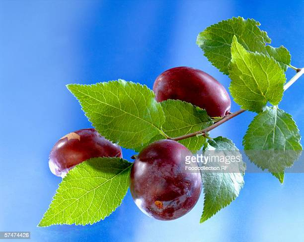 Three plums on the branch