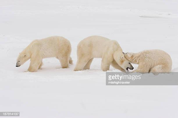 three polar bear spar and play fight on arctic snow - hudson bay stock photos and pictures