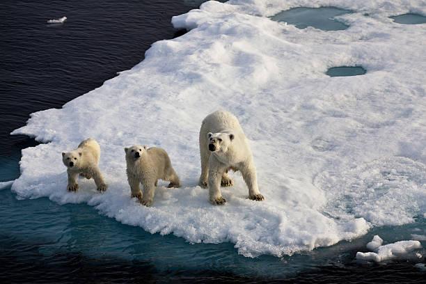 Three Polar Bears On An Ice Flow Wall Art