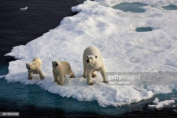 drei eisbären auf ein eis-fluss - polarklima stock-fotos und bilder