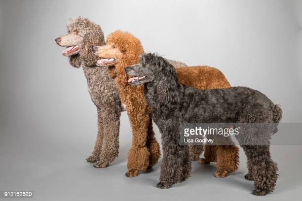 three poodles three colors