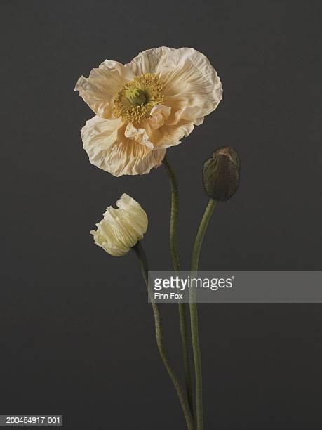 Three poppy (Papaver bracteatum) stems