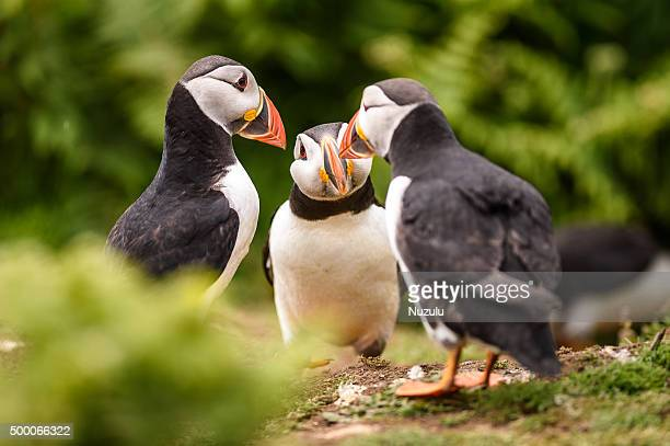 three puffins appearing to converse together in a huddle - zeevogel stockfoto's en -beelden