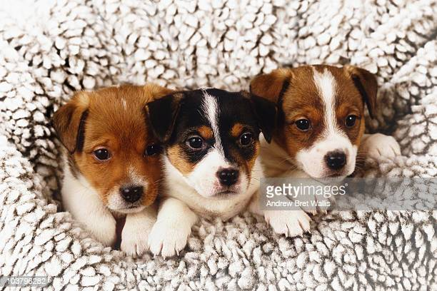 three puppies gathered together in a snowy fleece