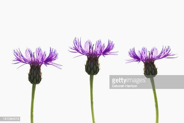 Three Purple Flowers on White