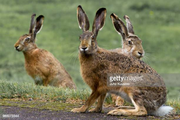 three rabbits - brown hare stock pictures, royalty-free photos & images